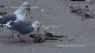 食事をするオオセグロカモメ