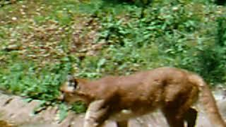 North Carolina Zoo:   Cougar