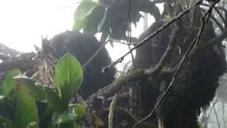 preview picture of video 'Rwanda - Berggorilla 2'