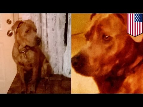Puppy dachshund pups kapag naibigay na de-worming