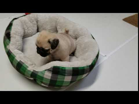Muffy the pug playing in her bed.