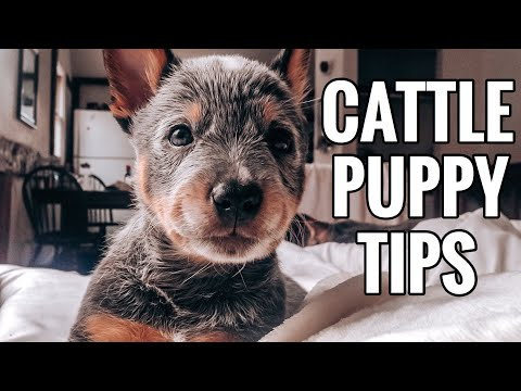 Download Blue Heeler Puppies | 5 Things You NEED to Know Mp4 HD Video and MP3