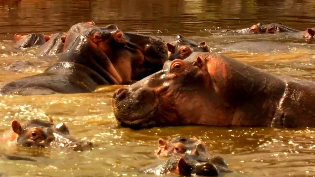 Tansania: Serengeti Nilpferd (1:06)