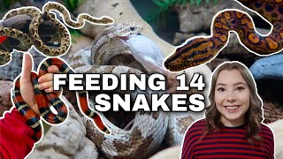 Feeding ALL Of My Pet Snakes!