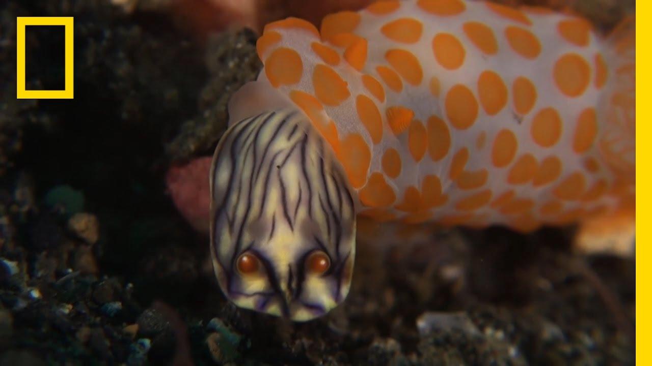 This Sea Slug Eats Its Own Kind | National Geographic thumbnail
