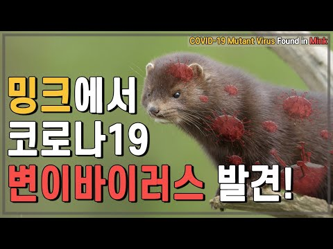 [ENG][COVID-19] 밍크에서 코로나19 변이바이러스 발견! Mink-Related COVID-19 Mutations Are Reported!