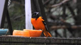 Baltimore Oriole eating orange:  Strafford County 5/9/20