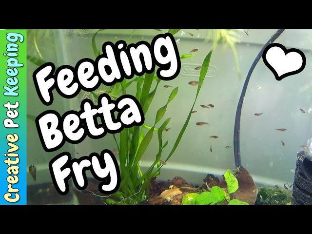 How to feed BABY BETTA FISH | Fish Fan Friday VLOG