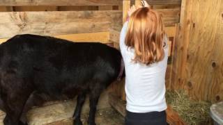 How to milk a goat by 5-year-old Heidi