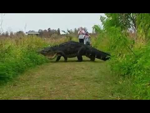 Video Shows Massive Alligator In Lakeland