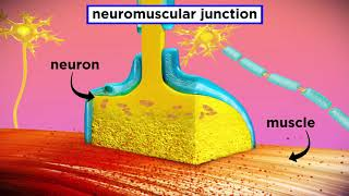 The Mechanism of Muscle Contraction: Sarcomeres, Action Potential, and the Neuromuscular Junction