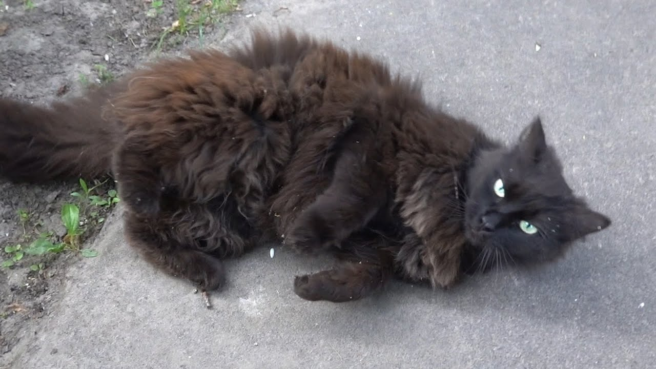 Beautiful black cat meow not from hunger