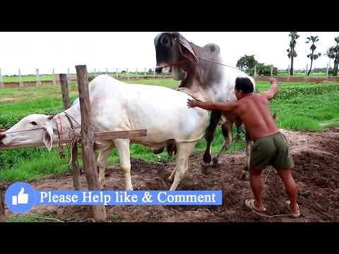 Live Stream: How To Breds Cows in cambodia - Amazing man breeds cows ការបង្កាត់ពូជសត្វគោ Wild animal
