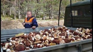 Как вырастить много белых грибов на своем участке 2 (размножаем корнями)