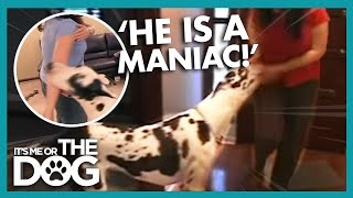 This Great Dane Is So Vicious! | Its Me Or The Dog
