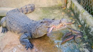 Feeding crocodile and turtle, meet spider and gecko, visiting my new house