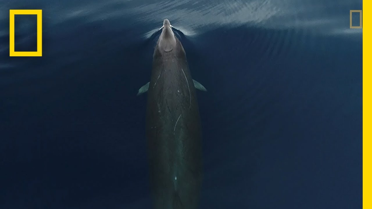 This is What Gervais' Beaked Whales Look Like From Above   National Geographic thumbnail