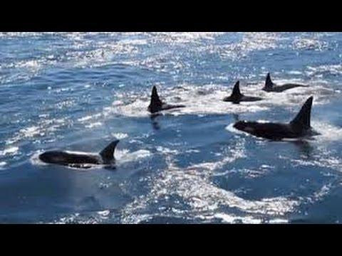 Grupo de Orcas en Isla Galiano, Canadá