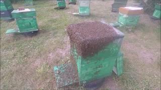 Пчёлы не перестают удивлять