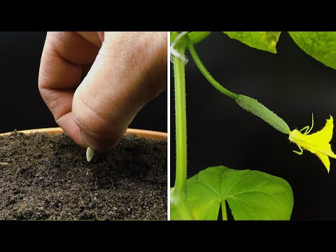 , title : 'Growing Cucumber Timelapse - Seed To Fruit