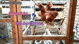 Rahasia Utama Membuat Bibit Ayam Kampung Super (Joper)