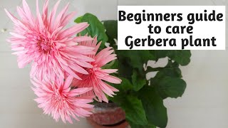Beginners Guide to Care Gerbera Plant   How to Get Maximum Bloom in Winter   e URBAN ORGANIC GARDEN
