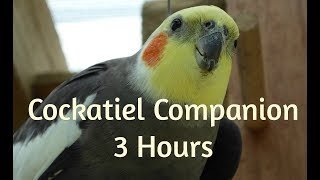 Cockatiel Companion 3 HOURS OF COCKATIELS!!!