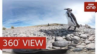 Play with Penguins in 360°: Animals With Cameras Episode 1 | BBC One HD