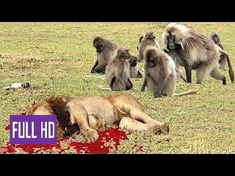 Babuíno Loucos vs Leon, Real Luta e Feroz Animais Selvagens, Ataques Macacos vs Leões