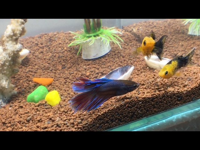 My Betta fish is compatible with molly, guppies, zebra, platy, tetra fishes check out