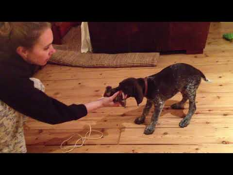 BE PREPARED TO FALL IN LOVE! Clicker Training a German Shorthaired Pointer Puppy - 8 weeks old!