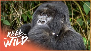 The Race To Save The Mountain Gorilla (Wildlife Documentary) | Giving Nature A Voice | Real Wild