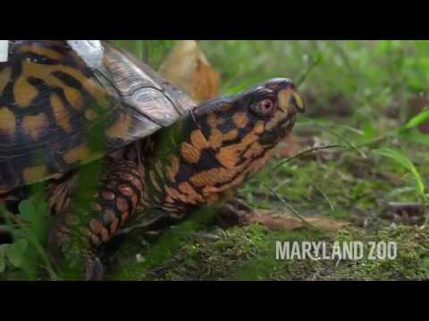 Injured Turtle at The Maryland Zoo Fitted With Customized LEGO[reg] Wheelchair
