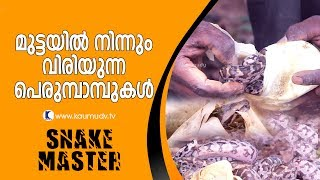 Wow ! Hatching of Python's eggs  | Snake Master EP 261 | Kaumudy TV