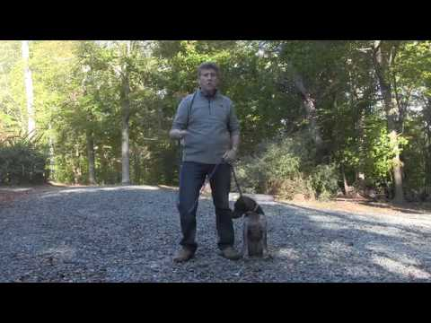 German Shorthaired Pointer Puppy Training  Charlotte NC | Remy