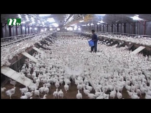 Bangladesh Poultry industry in deep crisis | News & Current Affairs