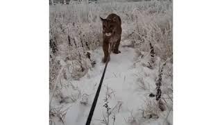 Пензенцы сняли, как хищник крадется по заснеженному полю