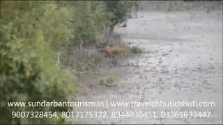 preview picture of video 'Royal Bengal Tiger at Sundarban, Sudhanyakhali Jungle 17/08/2014.'