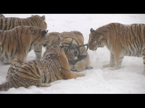 Watch An Ambush Of Tigers Rip A Drone Out Of The Sky And Then Eat It