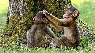 Funny Monkey babies - Playing like Little imps!