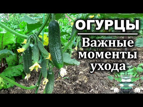 Что  обязательно нужно знать при выращивание огурцов. Огурцы Посадка и уход
