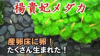 楊貴妃メダカの繁殖 産卵床【メダカ水槽#13】