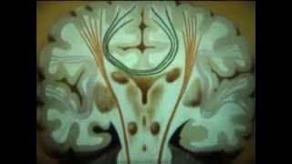 """НаучФильм  """"Проводящие пути спинного и головного мозга""""."""