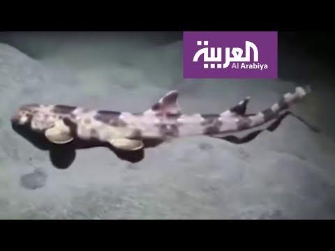 العرب اليوم - شاهد: اكتشاف 4 أنواع من أسماك القرش يمكنها المشي