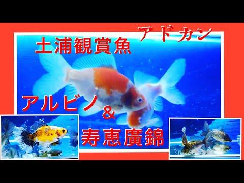 寿恵廣錦会・初代会長分譲魚・アルビノ朱文金豊田氏  Relaxation with goldfish