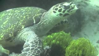 フィリピンルソン島アニラオの海亀