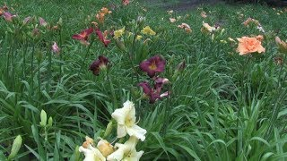 Homegrown | Growing Daylilies