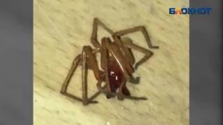 Ядовитого паука сак сняли на видео в жилом доме на западе Волгограда