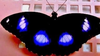 Naturally Fluorescent Butterfly!!