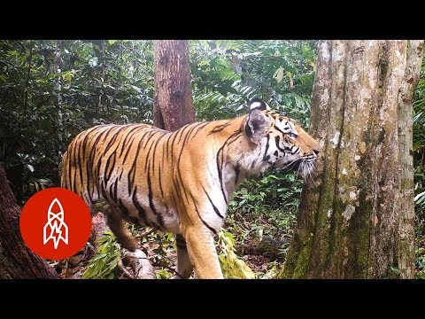 Protecting Thailand's Tigers with Science